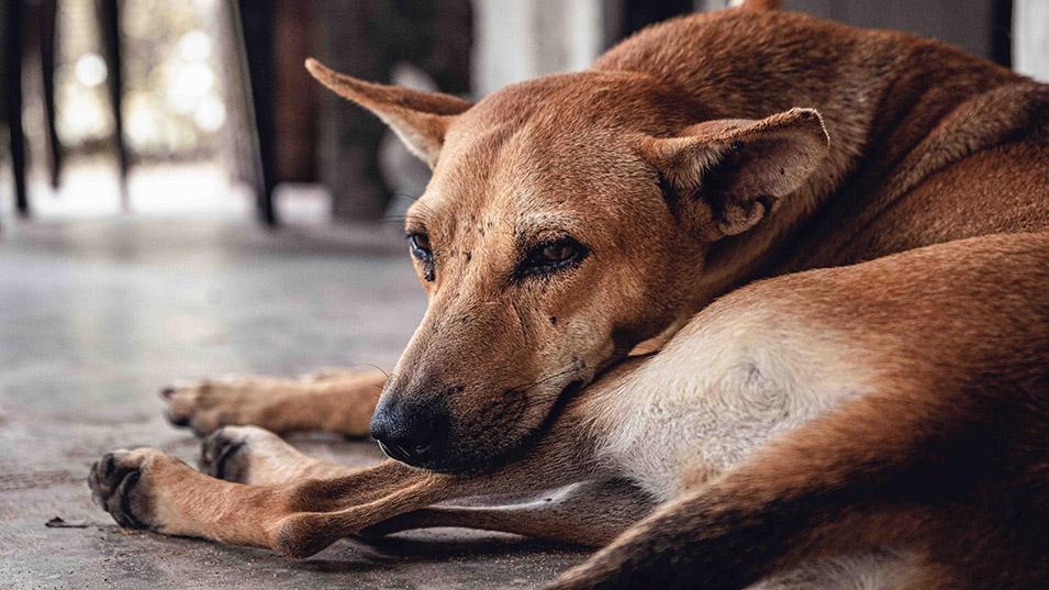 Leishmaniose Hund